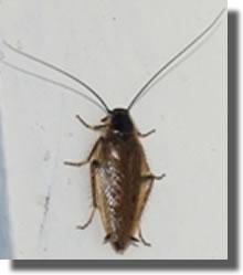 blattes cafards biologie habitats reproduction des. Black Bedroom Furniture Sets. Home Design Ideas